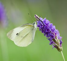 Indian Cabbage White on Lavender by tara-leigh