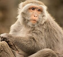 Formosan Rock Macaque by tara-leigh