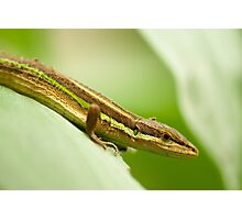 Chinese Green Striped Lizard Profile Photographic Print