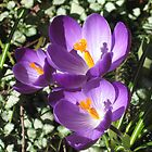 Harbinger of Spring! by Pat Yager