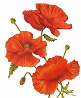 Poppies on White by FranEvans