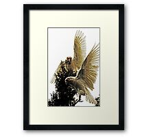 Long Billed Corellas  Framed Print
