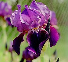 Iris Portrait by Doug Greenwald