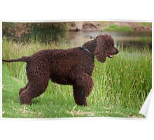 Irish Water Spaniel On Point Poster
