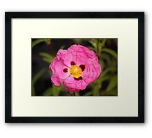Poppy hybrid Framed Print