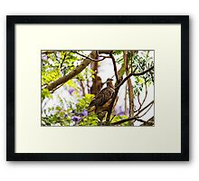 Diamond Dove ( Geopelia Cuneata) Framed Print