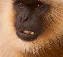 Hanuman Langur Close-up by tara-leigh