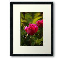 Lovely rose Framed Print
