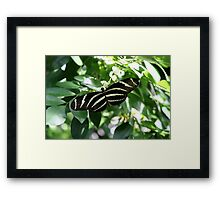 Zebra Longwing Butterfly Framed Print