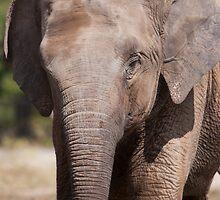 Indian Elephant Juvenile by tara-leigh