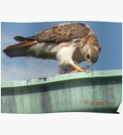 Red tailed hawk eating baby bird it just snatched out of its nest Poster