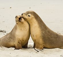 Duelling Australian Sea Lions by tara-leigh
