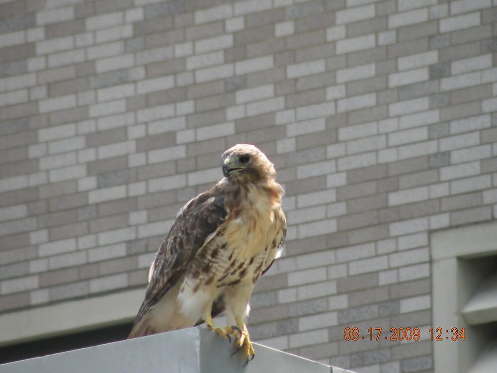 She flew up on a low roof near Au Bon Pain's outside area... by deborahpuerini
