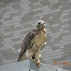 Red tailed hawk near Rhode Island Hospital's Au Bon Pain outside area by deborahpuerini