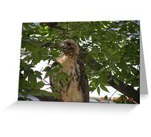 Another tree shot for the red-tailed hawk at Rhode Island Hospital Greeting Card