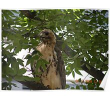 Another tree shot for the red-tailed hawk at Rhode Island Hospital Poster