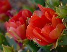 Prickly Pear Cactus Flower by Lucinda Walter