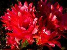 Red Trichocereus Cactus  by Lucinda Walter