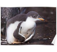 Gentoo Penguin Chick Poster