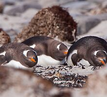 Gentoo Penguins by tara-leigh