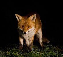 The Fox by Mark Poulton