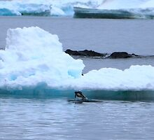 Adelie Penguins in Antarctica, 8 by Janai-Ami