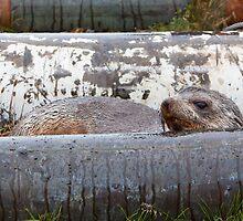 Antarctic Fur Seal by tara-leigh