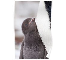 Adelie Penguin Chick Poster