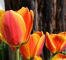 Orange and Yellow Tulips by Kathleen Brant