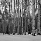 Aspens in Aspen by WalkingFish