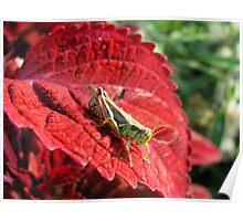 Grasshopper on Red Leaf Poster