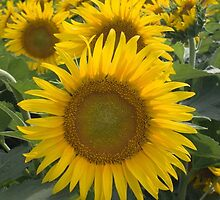 Sunflowers by Jerry Segraves