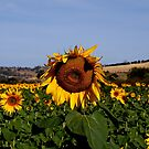 Sunflowers by CezB