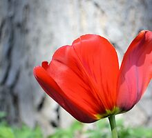 Two-Tone Red Tulip by Kathleen Brant
