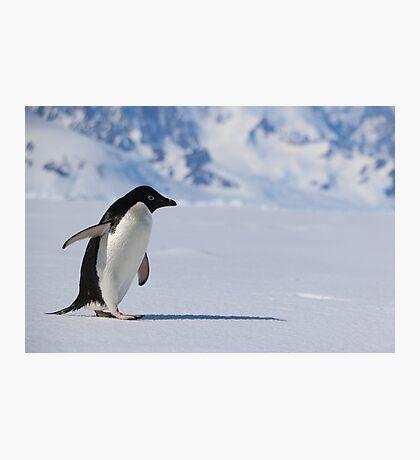 Adelie Penguin in Antarctica,   23 Photographic Print