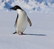 Adelie Penguins in Antarctica,   24 by Janai-Ami