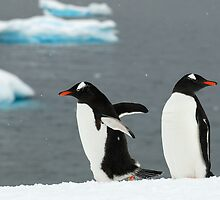 Gentoo's in the Snow by StottScape
