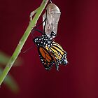 Monarch Butterfly Emerging from the Crysalis 2 by lightphotos