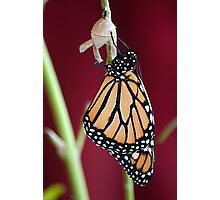 Monarch Butterfly drying Wings Photographic Print