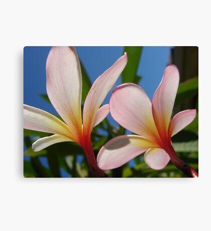 White & Pink Frangipani Glow-(Duo)-(Landscape) Canvas Print