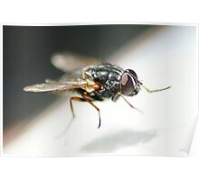 Fly on Glass Poster