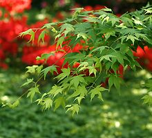 Japanese Maple - Planten Blomen Hamburg by Nugrahini Tj.