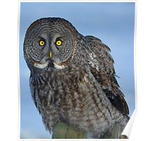 Great Gray Owl Portrait II Poster