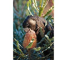 Cheeky Carnaby's feeding on banksia Photographic Print