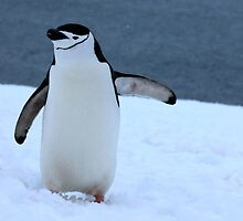 Chinstrap penguins in Antarctica, 3 by Janai-Ami