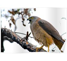 Goshawk preparing to swoop Poster
