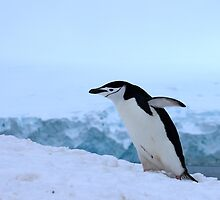Chinstrap penguin in Antarctica, 4 by Janai-Ami