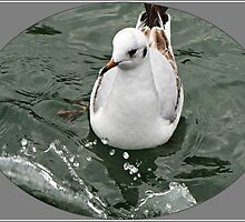 """ Immature Blackheaded Gull"" by mrcoradour"