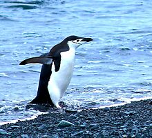 Chinstrap penguins in Antarctica,    9 by Janai-Ami