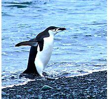 Chinstrap penguins in Antarctica,    9 Photographic Print